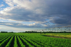Carrot field with irrigation system at sunset Royalty Free Stock Photo