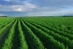 Carrot field with irrigation system at sunset Stock Photo