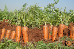 Carrot Field Stock Images