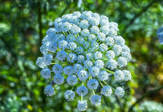 Carrot flowers blooming in sunshine Stock Images