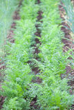 Carrot garden. Garden bed with carrots growing in rows stock photography