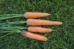Carrot on the grass Stock Image