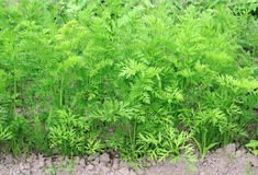 Carrot greens growing in the garden Royalty Free Stock Image