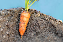 Carrot in the ground Stock Images