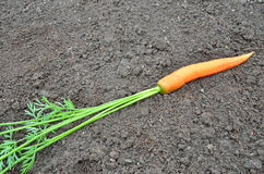 Carrot on the ground Royalty Free Stock Images