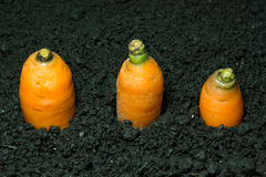 A carrot grows. In the ground Royalty Free Stock Photo