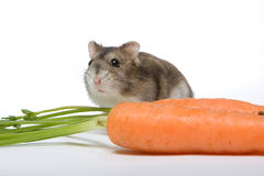 Carrot hamster Stock Photo