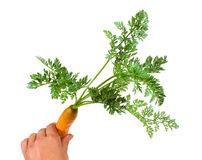 Carrot in hand Stock Images