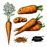 Carrot hand drawn vector illustration set. Isolated Vegetable artistic style object with sliced pieces. Detailed vegetarian food drawing. Farm market product royalty free illustration