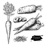 Carrot hand drawn vector illustration set. Isolated Vegetable Royalty Free Stock Photos