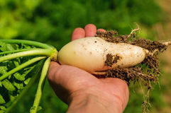 Carrot in hand Royalty Free Stock Photography