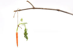 Carrot hanging from stick  Royalty Free Stock Images