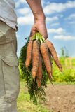 Carrot harvest. Partial image of a male  farmer / gardener collecting carrot harvest on a summers day Stock Image