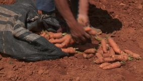 Carrot Harvest stock footage