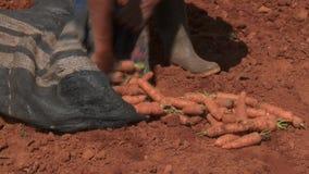 Carrot Harvest stock footage
