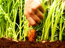 Carrot harvest Stock Photos