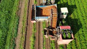 Carrot harvest in farm land. Aerial view of Carrot harvesting using mechanized harvesting equipment on a agricultural land stock video footage