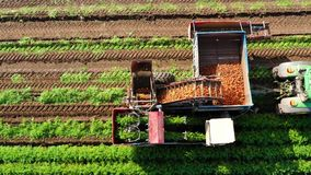 Carrot harvest in farm land. Tractor with a carrot harvester on agricultural land. Aerial view of Harvesting Carrots stock video footage