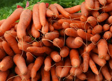 Carrot harvest. Freshly harvested carrots from the farm for sale at farmers market Royalty Free Stock Photos