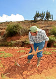 Carrot Harvest. Peru royalty free stock photos