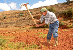 Carrot Harvest. Peru Stock Image