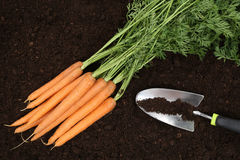 Carrot harvest in a vegetable garden Stock Images