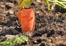 Carrot In Vegetable Garden Royalty Free Stock Photo
