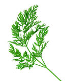 Carrot Leaf Stock Photography