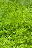 Carrot leaves Royalty Free Stock Photos