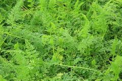 Carrot leaves Stock Photography