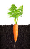 Carrot with leaves Royalty Free Stock Photo