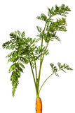 Carrot leaves royalty free stock image