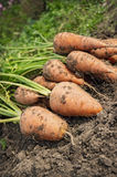Carrot lying on the edge of the field Royalty Free Stock Photography