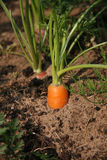 organic carrots carrot growing Stock Image