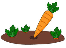Carrot patch Royalty Free Stock Images