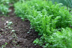 Carrot plant. Detail on young carrot plants in vegetable garden Royalty Free Stock Images