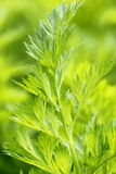 Carrot plant Royalty Free Stock Photo