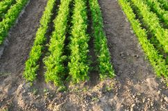 Carrot plantations are grown in the field. Vegetable rows. Organic vegetables. Landscape agriculture. Farming Farm. Selective royalty free stock photography