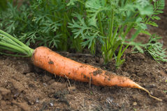 Carrot and plants Royalty Free Stock Images