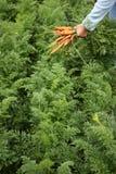 Carrot plants. Women holding carrots above rarrotfield Royalty Free Stock Photos