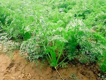 Carrot plants in field royalty free stock photo