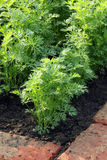 Carrot plants on garden bed Royalty Free Stock Photos