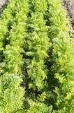 Carrot Plants in an organic vegetable garden. Stock Photography