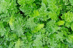 Carrot plants, top view Royalty Free Stock Photos