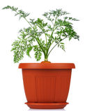 Carrot in plastic pot Stock Photography