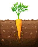 Carrot with root underground. Illustration Royalty Free Stock Image