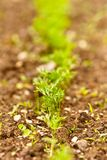 Carrot seedlings Royalty Free Stock Photo