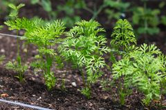 Carrot seedlings Royalty Free Stock Images