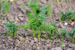 Carrot seedlings - ecological vegetable garden Royalty Free Stock Images