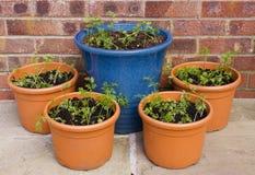 Carrot seedlings in pots Stock Photo
